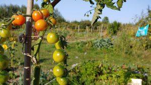 moestuin met op de voorgrond een tomatenplant met kleine oranje en groene tomaatjes