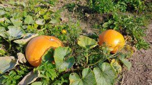 moestuin met twee grote oranje pompoenen
